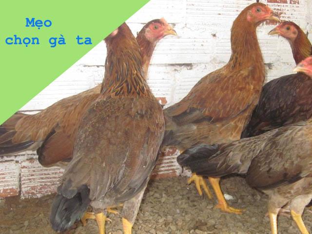 Mẹo chọn thịt gà ta con sống để mua